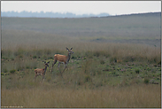 die Kuh und das Kalb... Rotwild *Cervus elaphus*