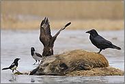 Streit am Luder... Kolkrabe *Corvus corax*