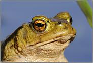 Krötenportrait... Erdkröte *Bufo bufo*