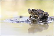 'raus aus dem Gewässer... Erdkröte *Bufo bufo*