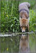 Begegnung mit dem Spiegelbild... Rotfuchs *Vulpes vulpes*
