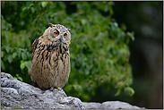 ein Jungvogel... Europäischer Uhu *Bubo bubo*