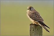 Turmfalkenweibchen... Turmfalke *Falco tinnunculus*