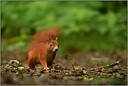 mit Vorsicht... Europäisches Eichhörnchen *Sciurus vulgaris*