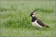 im taunassen Gras... Kiebitz *Vanellus vanellus*