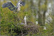 Begrüßung am Nest... Graureiher *Ardea cinerea*
