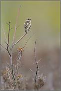 das Weibchen... Schwarzkehlchen *Saxicola_torquata*