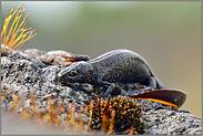 gefährdet... Nördlicher Kammmolch *Triturus cristatus*
