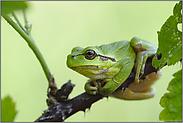 im Sommerlebensraum... Europäischer Laubfrosch *Hyla arborea*