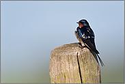 kleiner Vogel... Rauchschwalbe *Hirundo rustica*