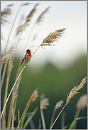 singend...  Karmingimpel *Carpodacus erythrinus*