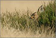 in der Sommerheide... Feldhase *Lepus europaeus*