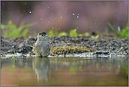 Wasserspritzer... Mönchsgrasmücke *Sylvia atricapilla*