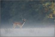 Damspiesser im Nebel... Damhirsch *Dama dama*