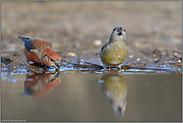 Wasserbedarf... Kiefernkreuzschnäbel *Loxia pytyopsittacus*