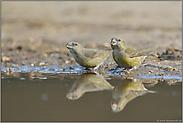 an der Wasserstelle... Kiefernkreuzschnäbel *Loxia pytyopsittacus*