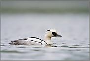 schwarz-weißer Vogel... Zwergsäger *Mergellus albellus*