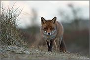 neugierige Blicke... Rotfuchs *Vulpes vulpes*