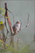 fleißiger Sänger... Sumpfrohrsänger *Acrocephalus palustris*