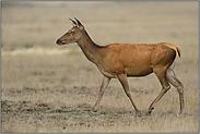 ein weiblicher Hirsch... Rottier *Cervus elaphus*