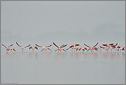 der Abflug... Flamingos *Phoenicopterus spec.*