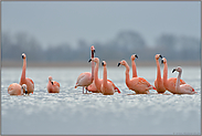 Licht... Flamingos *Phoenicopterus spec.*