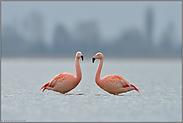 Paarbildung... Chileflamingo *Phoenicopterus chilensis*