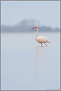 allein am See... Rosaflamingo *Phoenicopterus roseus*