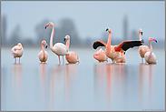 spiegelglatt... Flamingos *Phoenicopterus spec.*