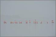 Tristesse... Flamingos *Phoenicopterus spec.*