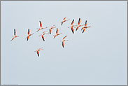 eindrehend... Chileflamingos *Phoenicopterus chilensis*