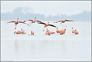 kurz vor der Landung... Chileflamingos *Phoenicopterus chilensis*