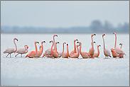 lange Hälse... Flamingos *Phoenicopterus spec. *