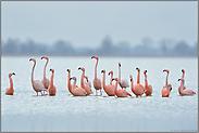 Aufregung... Flamingos *Phoenicopterus spec.*