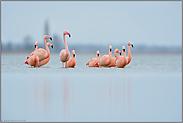 knietief... Flamingos *Phoenicopterus spec.*