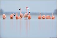 auf dem Zug... Flamingos *Phoenicopterus spec.*