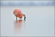 bei der Nahrungsaufnahme... Chileflamingo *Phoenicopterus chilensis*
