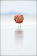 trübes Wetter... Chileflamingo *Phoenicopterus chilensis*