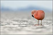 im Flachwasser... Chileflamingo *Phoenicopterus chilensis*