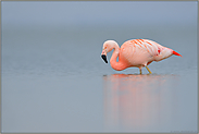 Stille... Chileflamingo *Phoenicopterus chilensis*