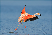 sanfte Landung... Chileflamingo *Phoenicopterus chilensis *