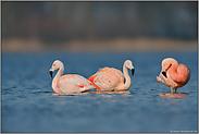 Familienverbund... Chileflamingo *Phoenicopterus chilensis *