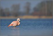 ein Jungvogel... Chileflamingo *Phoenicopterus chilensis *