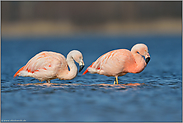 Generationen... Chileflamingo *Phoenicopterus chilensis*