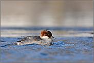 im Eiswasser... Zwergsaeger *Mergellus albellus*