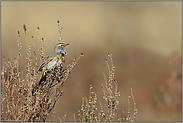 in der Heide... Blaukehlchen *Luscinia svecica*