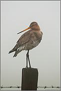 dichter Nebel... Uferschnepfe *Limosa limosa*