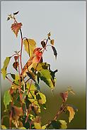 Gesang... Karmingimpel *Carpodacus erythrinus*