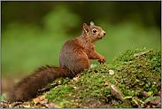 prüfender Blick... Eichhörnchen *Sciurus vulgaris*