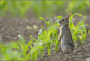 Verbiss im Mais...  Wildkaninchen *Oryctolagus cuniculus *